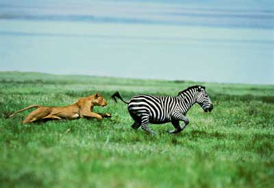 relationship between lions and zebras